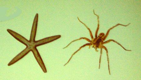Starfish_spider